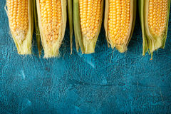Fresh raw corn cobs. On blue concrete background Royalty Free Stock Image