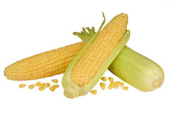 Fresh raw corn cobs isolated. On the white background Royalty Free Stock Image