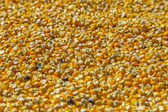 Fresh raw corn grains background. Royalty Free Stock Photo