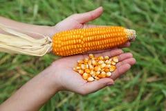 Fresh raw corn in hand Stock Image