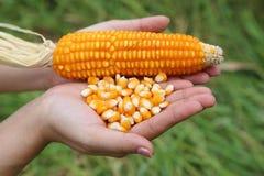 Fresh raw corn in hand Stock Photography