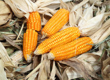 Fresh raw corn after harvest. In field Royalty Free Stock Image