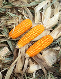 Fresh raw corn after harvest. In field Stock Images