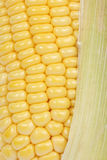 Fresh raw corn. Isolated on the white background Stock Images
