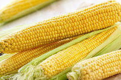 Fresh raw corn. Uncooked fresh corn in husk on the table Royalty Free Stock Image