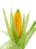 Fresh raw corn on white background. Isolated Stock Images