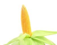 Fresh raw corncob isolated on the white. Background Stock Photos