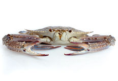 Fresh Raw Crab. Isolated in white background Stock Photos