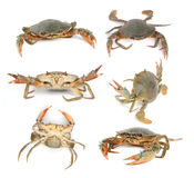Fresh Raw Crab Stock Images