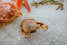 Fresh raw crab on ice. Seafood. Moskow Stock Image