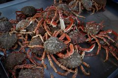 Fresh, raw crabs lie on the counter near the coast of the Kelst Sea royalty free stock image
