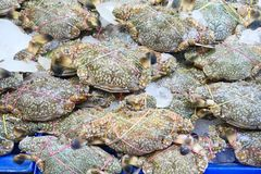 Fresh raw crabs. Pile of fresh crabs in the market Stock Photos