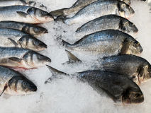 Fresh raw dorada & sea bass on ice at the market. May be used as background Royalty Free Stock Photo
