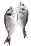 Fresh raw dorado fish isolated on white background Royalty Free Stock Photography