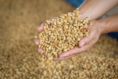 Fresh raw dried coffee beans on hand and raw coffee beans backgr. Ound Royalty Free Stock Images