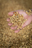 Fresh raw dried coffee beans on hand and raw coffee beans backgr. Ound Stock Image