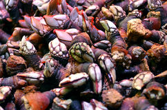 Fresh raw edible barnacles. Fresh raw edible goose barnacle, Pollicipes polymerus Royalty Free Stock Images