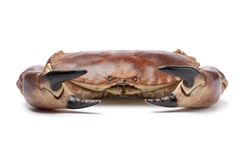 Fresh raw edible sea crab. Isolated on white background Stock Images