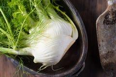 Fresh raw fennel root vegetable organic. Fresh fennel root vegetable garden harvest healthy cooking Stock Images