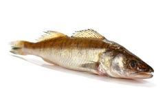 Fresh raw fish. Isolated on white background Royalty Free Stock Photos