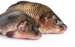 Fresh raw fish. Isolated on white Royalty Free Stock Image