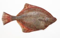 Fresh raw fish. Fresh raw plaice on white background Royalty Free Stock Photography