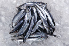 Fresh raw fish anchovy on ice Royalty Free Stock Photos