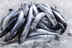 Fresh raw fish anchovy on ice seafood Royalty Free Stock Image