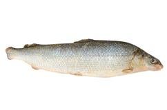 Fresh raw fish Arctic cisco Royalty Free Stock Photo