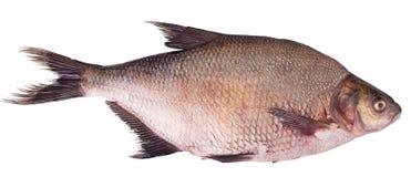 Fresh raw fish carp. Isolated on white background Royalty Free Stock Photo