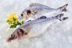Fresh Raw Fish Chilling on Cold Bed of Ice. High Angle Full Length View of Raw Fresh Fish Chilling on Cold Bed of Ice with Herb Garnish and Lemon Slices Stock Images