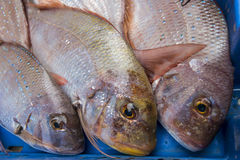 Fresh raw fish common pandora. In the market Royalty Free Stock Photography