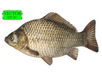 Fresh raw fish crucian carp isolated on white background. Vector. Illustration Stock Image