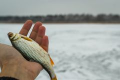Fresh raw fish. Fishing nature lake winter fishing Royalty Free Stock Image