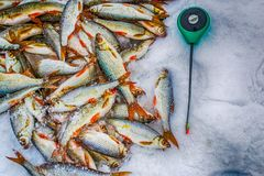 Fresh raw fish. Fishing nature lake winter fishing Stock Photography