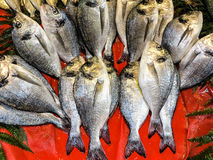 Fresh raw fish - gilt head bream. Fresh gilt head bream arrangement on red background Royalty Free Stock Photo