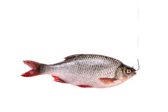 Fresh raw fish on a hook, isolated on white Royalty Free Stock Image