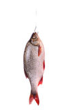 Fresh raw fish on a hook, isolated on white. Fresh raw fish on a hook  isolated on white background with clipping path vertical orientation Stock Photo