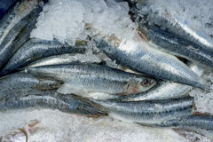 Fresh Raw Fish on Ice. Fresh fish catch on ice stock photography