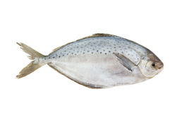 Fresh raw fish isolated Royalty Free Stock Images
