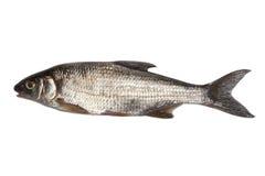 Fresh raw fish. Isolated on white background Stock Image