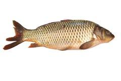 Fresh raw fish isolated on white. Fresh carp fish isolated on white background Stock Image
