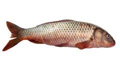 Fresh raw fish isolated on white. Fresh carp fish isolated on white background Royalty Free Stock Photo