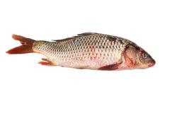 Fresh raw fish isolated on white. Fresh carp fish isolated on white background Royalty Free Stock Photos