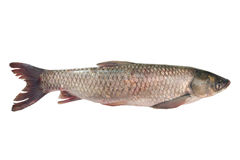 Fresh raw fish isolated on white. Fresh carp fish isolated on white background Royalty Free Stock Photography