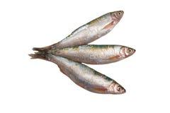 Fresh raw fish isolated on white. Fresh mullet fish isolated on white background Stock Image