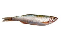 Fresh raw fish isolated on white. Fresh mullet fish isolated on white background Royalty Free Stock Photography