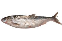 Fresh raw fish isolated on white. Fresh omul fish isolated on white background Royalty Free Stock Photo