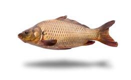 Fresh raw fish. On white background Royalty Free Stock Image