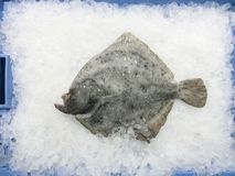 Fresh raw flatfish on ice for sale at local market in Ibiza, Spa. Fresh raw flatfish fish on ice in blue container for sale at local market in Ibiza, Spain stock image